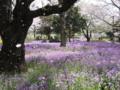 [昭和記念公園][春][桜]桜吹雪