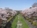 [昭和記念公園][春][桜]残堀川と桜