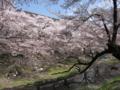 [桜][春][桜]根川の桜