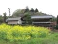 [春][新緑]菜の花と倉
