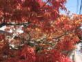 [春]春の紅葉