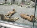 [多摩動物公園]チーター柄の猫