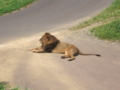 [多摩動物公園]ライオン柄の猫