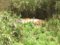 [多摩動物公園]虎刈りの猫