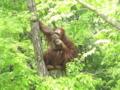 [多摩動物公園]森の人とはよく言ったもんだ