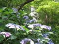 [寺][梅雨]紫陽花と観音様