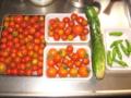 [トマト][胡瓜]トマト豊作