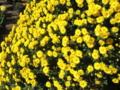 [秋]菊祭り