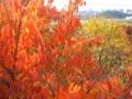 [秋][紅葉]色付く街路樹