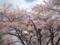 [桜][春]