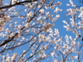 [桜][春]庭のさくら