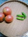 [トマト]今日の収穫。しし唐は初物