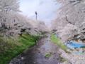[桜]根川緑道