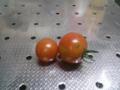 [トマト]7月8日の収穫