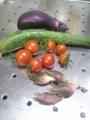 [胡瓜][トマト][初物][茄子]茗荷は初物