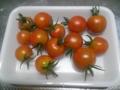 [トマト]今日の収穫