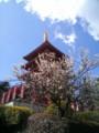 [寺]五重塔と桜