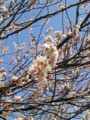 [春][桜]庭の桜が満開