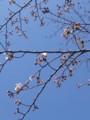 [春][桜]ソメイヨシノがほころんで来た