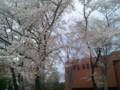 [春][桜]市役所の桜