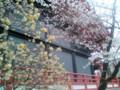 [春][桜]みつまたと桜