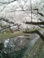 [春][桜]根川緑道