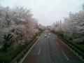 [春][桜]国立大学通り