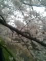[春][桜]乞田川