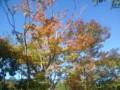 [秋][昭和記念公園]かえで