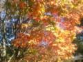 [秋][昭和記念公園][紅葉]かえで
