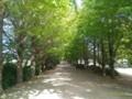 [昭和記念公園]銀杏並木