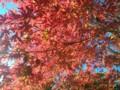 [紅葉][秋]もみじ