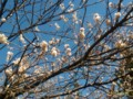 [春]庭の桜