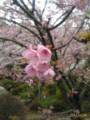 [春]さくら