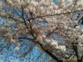 [春][桜]桜@根川緑道