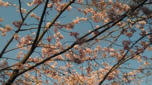 東秩父の桜