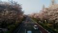 [国立大学通り][桜]