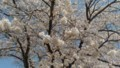 [桜]秩父の桜