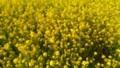 [春]菜の花