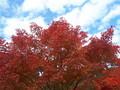 [秋]紅葉