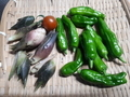 [収穫]茗荷しし唐トマト