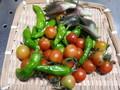 [収穫]しし唐、トマト、茗荷