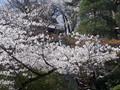 [春][桜][寺]