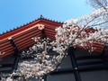 [春][桜][寺]高幡不動尊