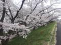 [桜][春]堤防の桜