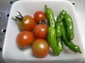 [収穫]トマト、しし唐
