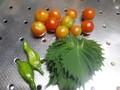 [収穫]トマト、しし唐、大葉