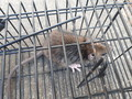 [ネズミ]メズミ捕り