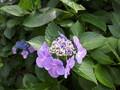 [紫陽花][梅雨][高幡不動]紫陽花