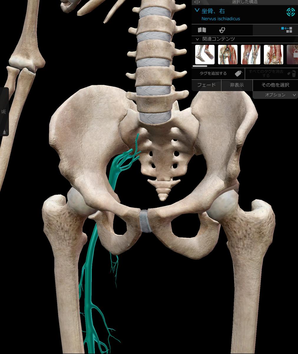 骨盤と坐骨神経
